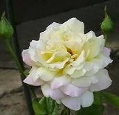 a  rózsa.jpg